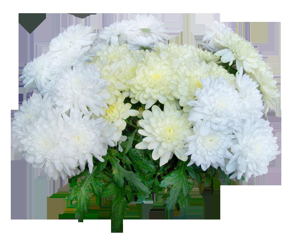 Хризантемы фото открытки