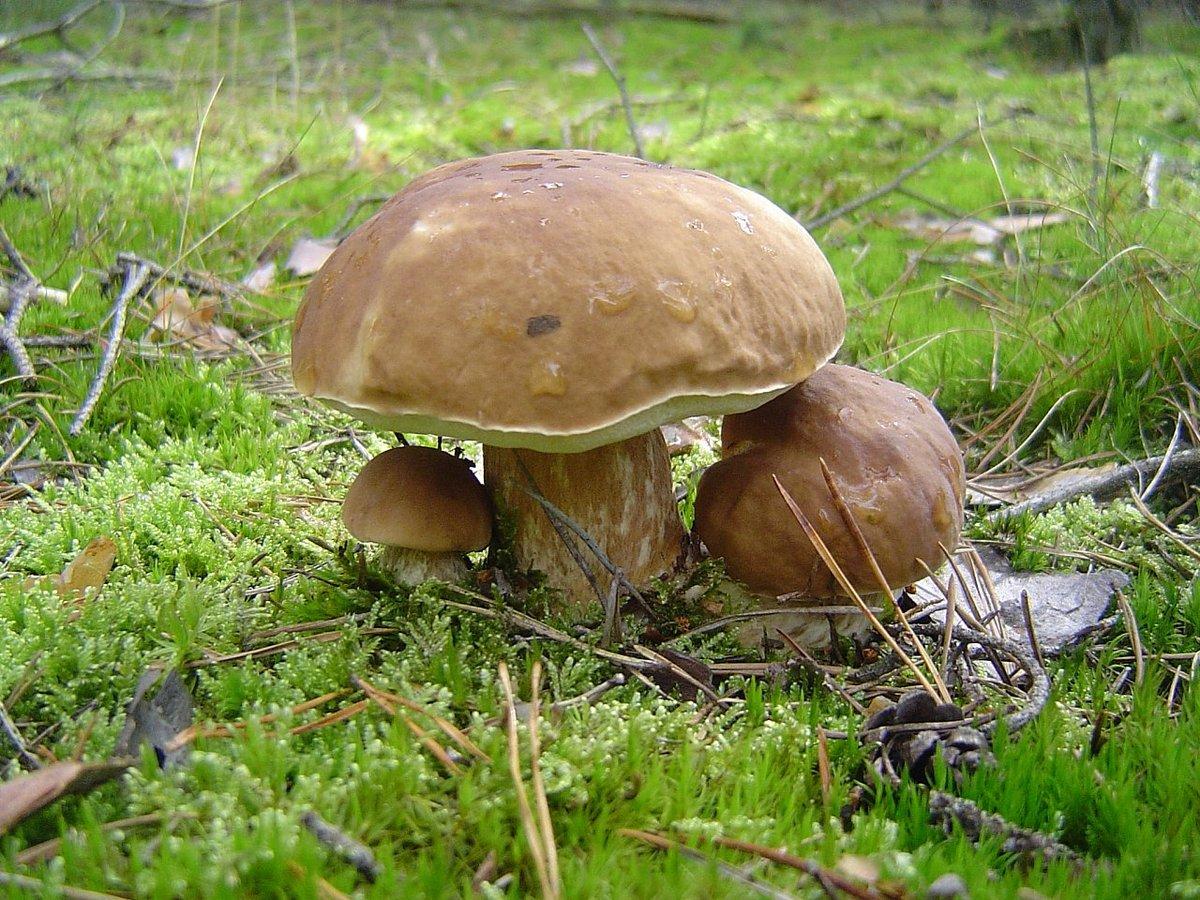 картинки хороших грибов область ногтя