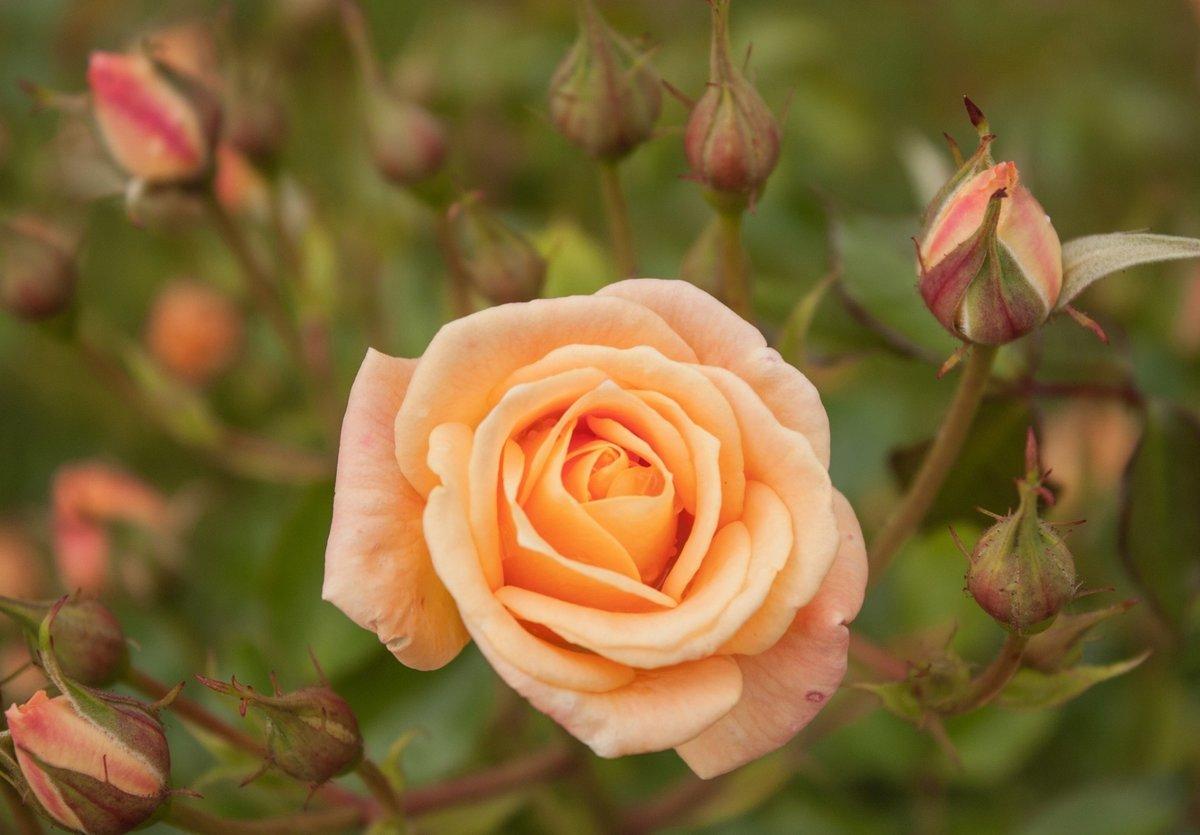 рождения чайные розы показать картинки без снимков обошлось