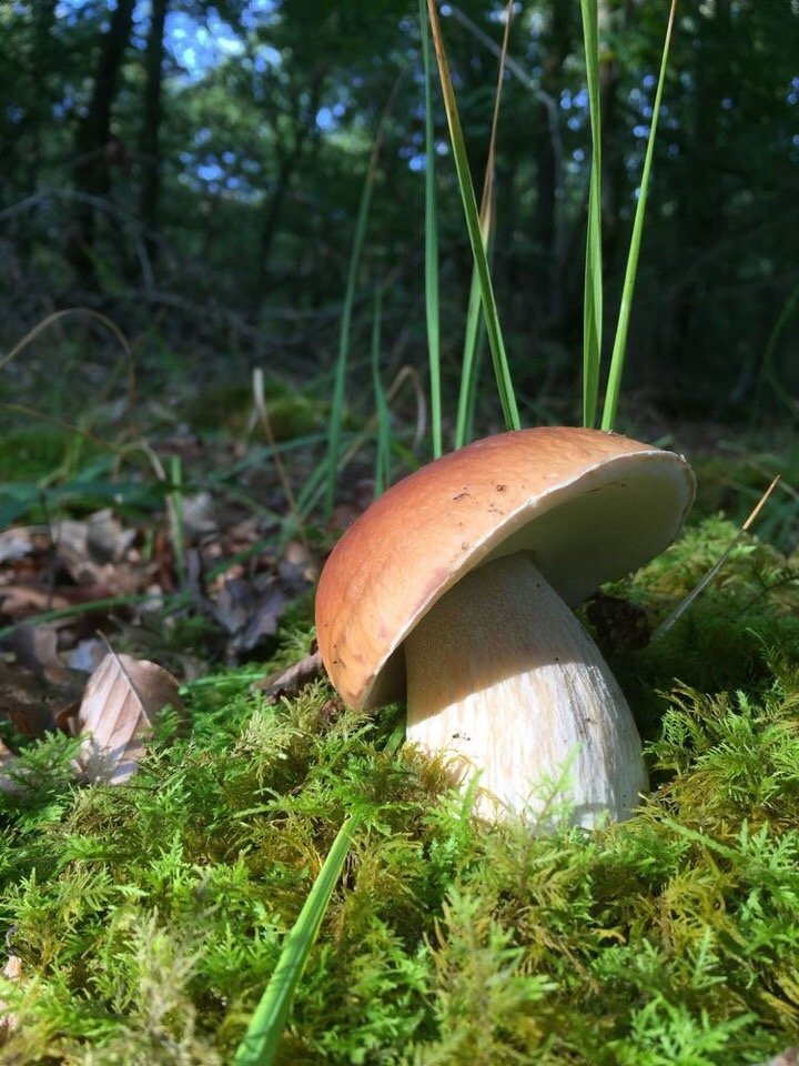 три показать грибы белые фото моей