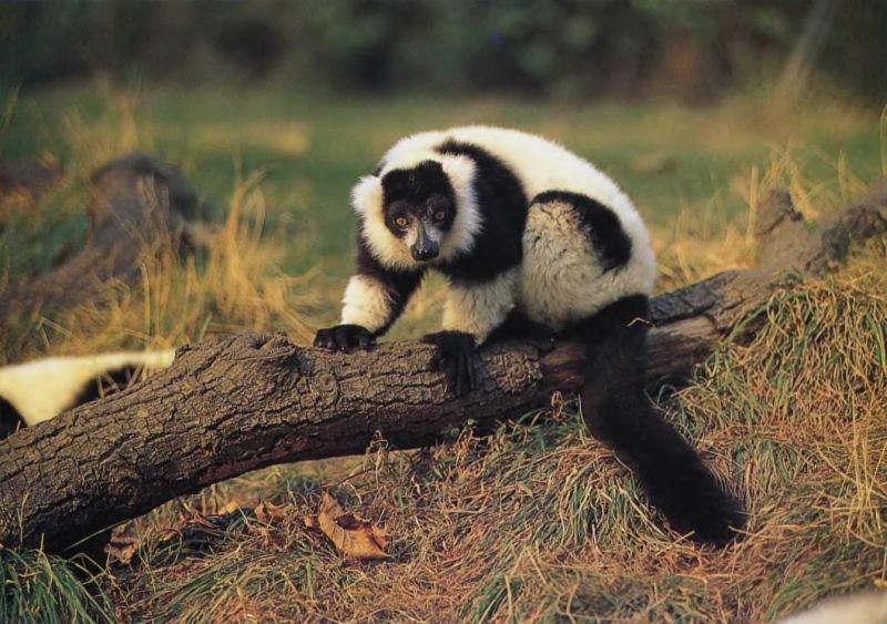 Черно-белый гривистый лемур встречается в тропических лесах восточного побережья Мадагаскара. Пары создаются на всю жизнь, и самка обычно рожает двух близнецов.