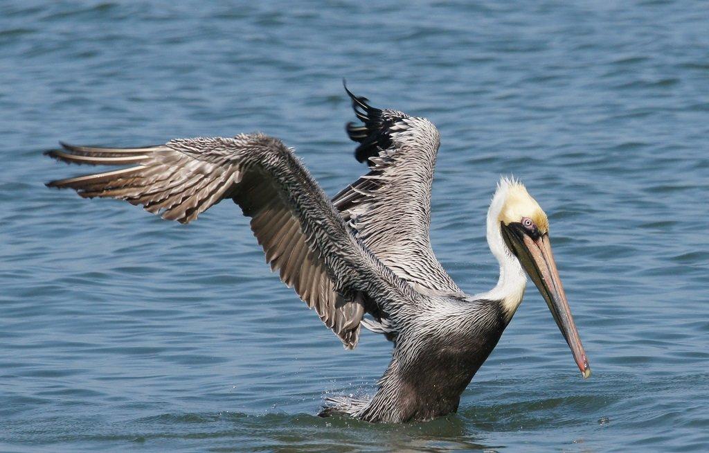 pelicans - HD2800×1791