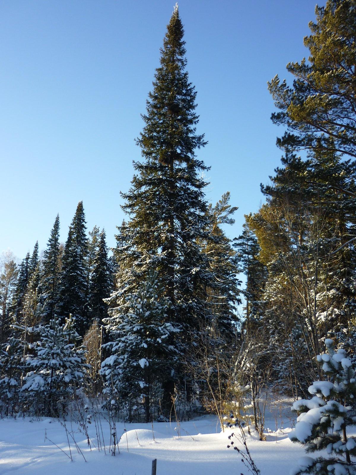 бесплатный, ели зимой в лесу фото шнура