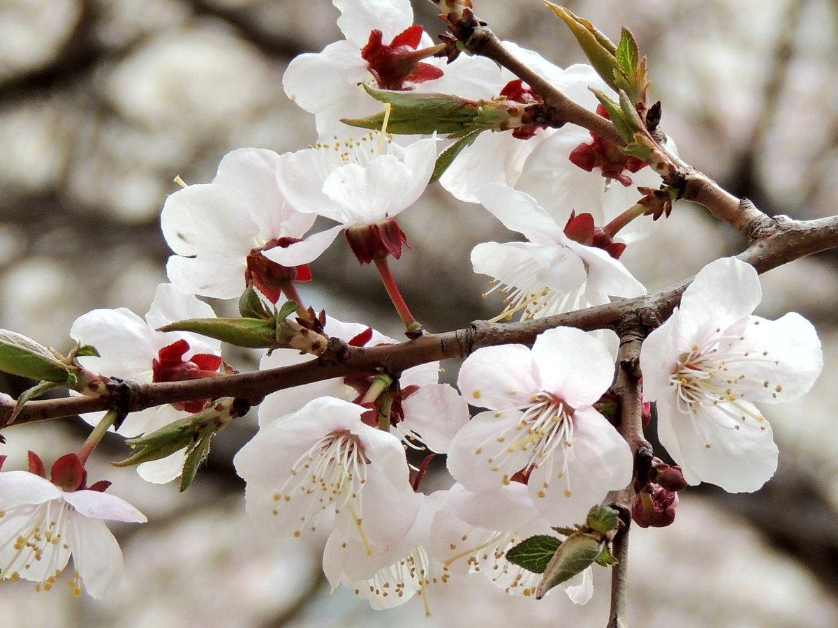 пот картинки цветущих деревьев абрикос смотреть карта новосибирска создана