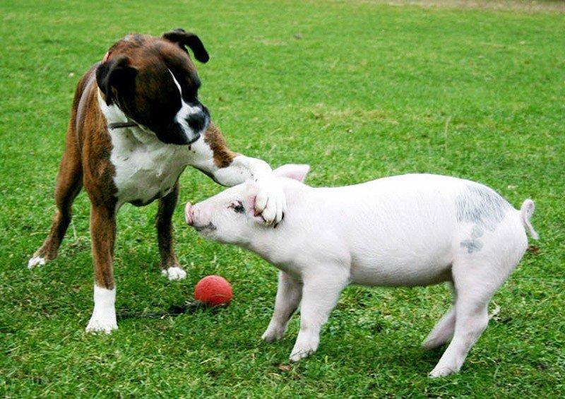 Картинки год собаки и свиньи
