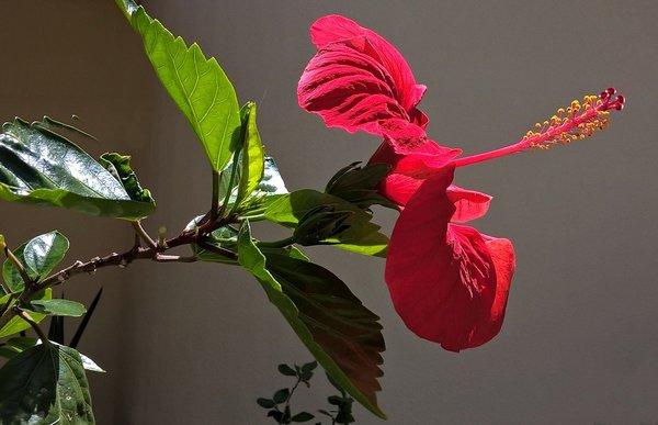 Гибискус-пламенный цветок