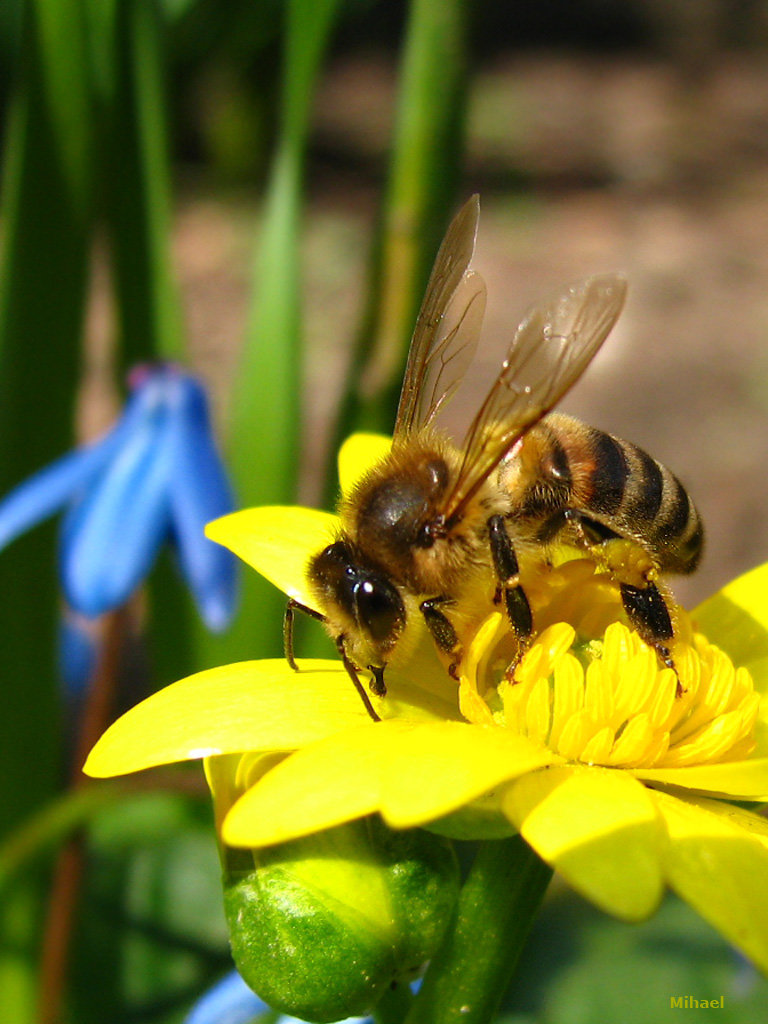 Узбечка фото пчелы