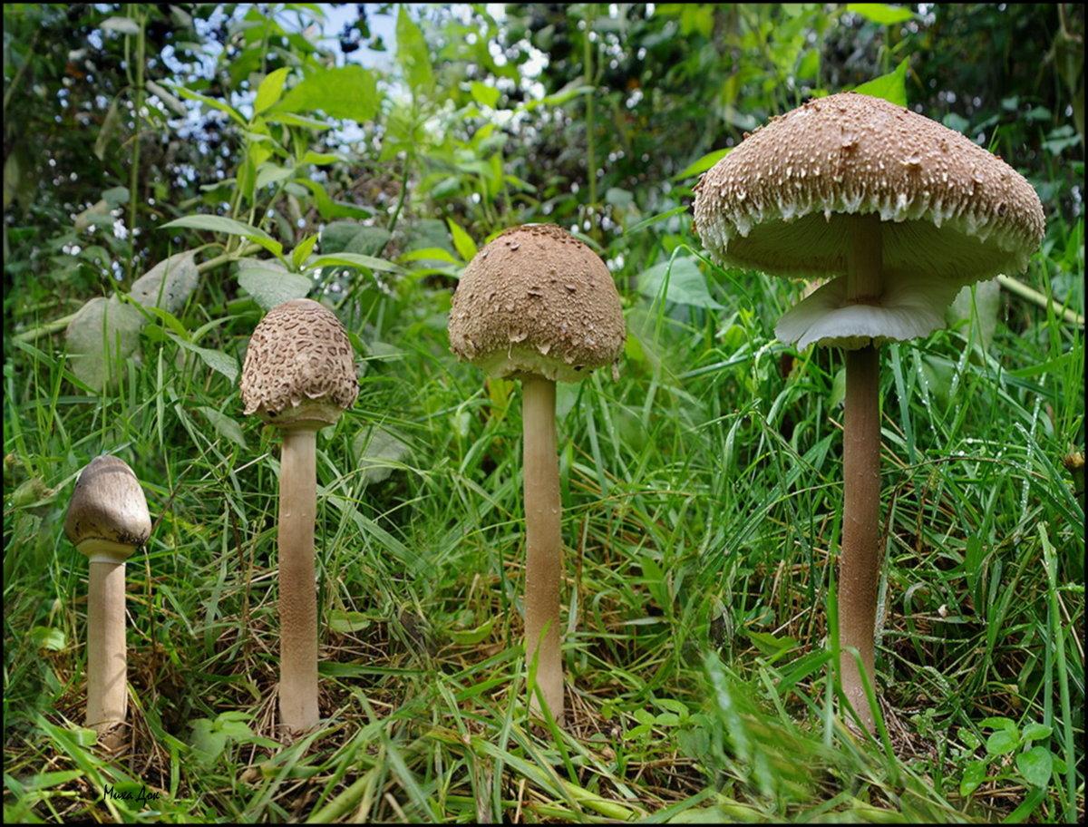 главном сооружении гриб зонтик фото съедобный и ядовитый рисунки том, какие