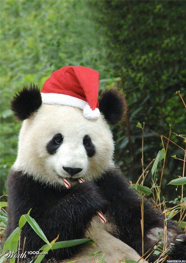 новогодние картинки с пандами тысячи лет праздник