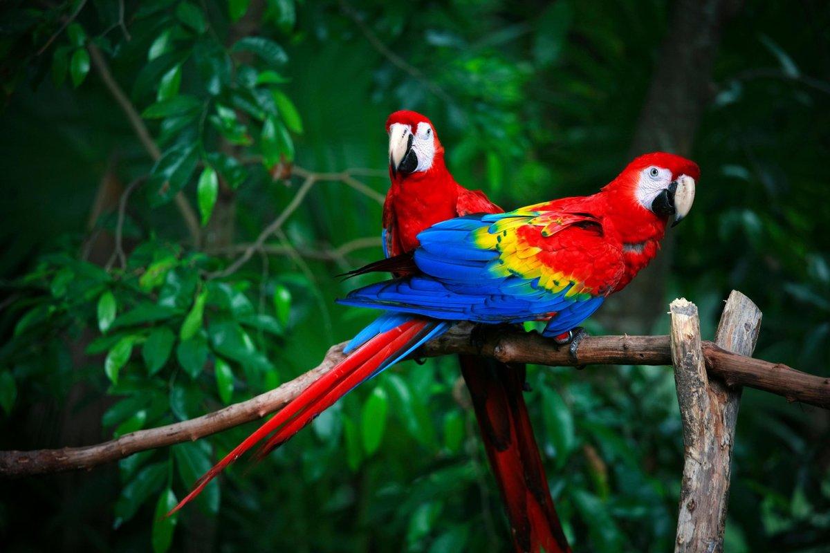 картинки попугаев джунглях ещё огонёк