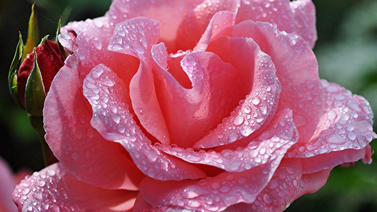 Картинки надписями, открытки цветы с росой