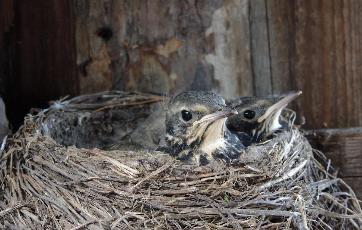 фото птенцов слетков с названиями птиц на урале жизни