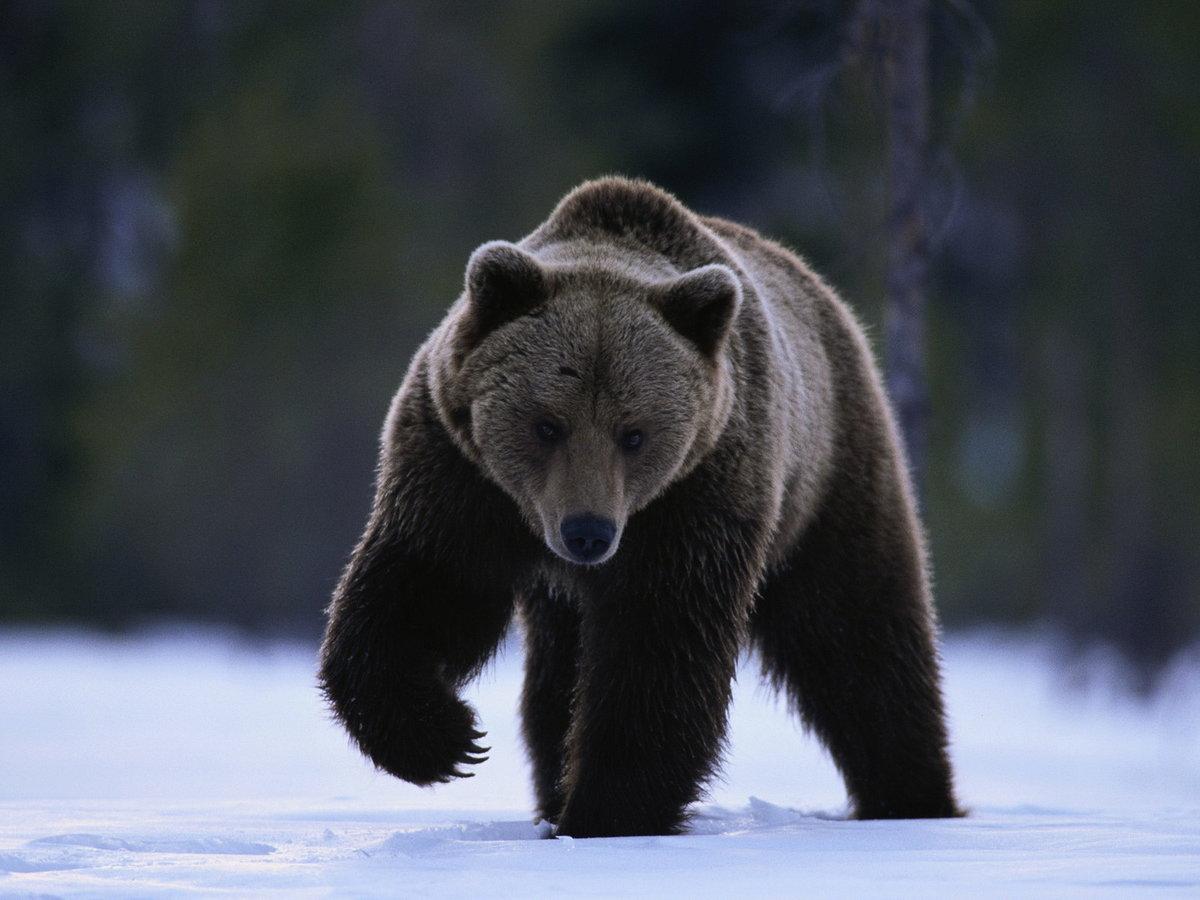 Бурый медведь открытка, день рождения