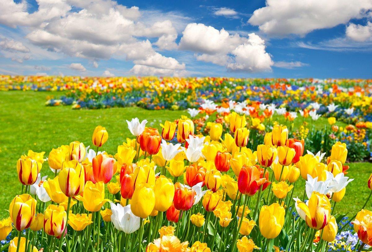 Во сне я видела красные тюльпаны их было 3 шт они были не сорваны но былы вяломи.