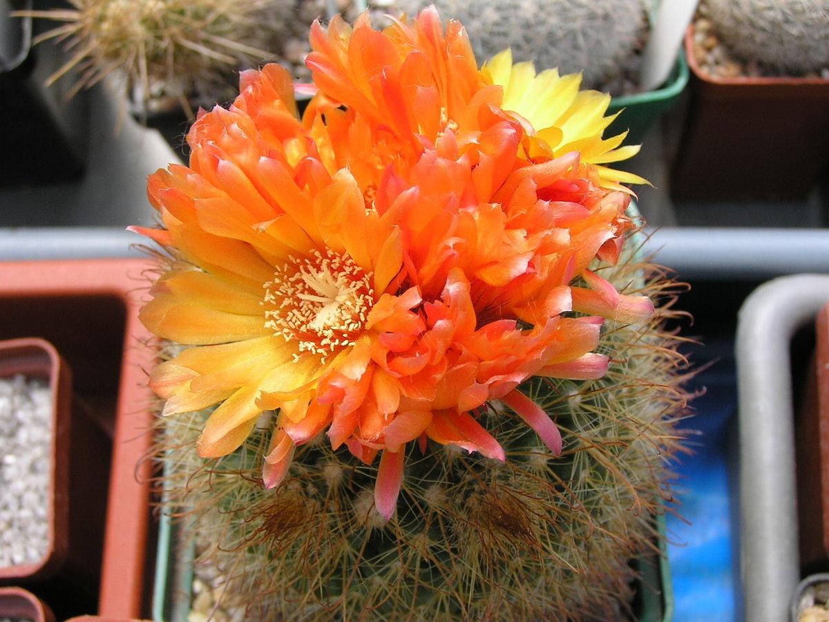 картинки кактусов и их названия фото нашей фотостудии проводятся