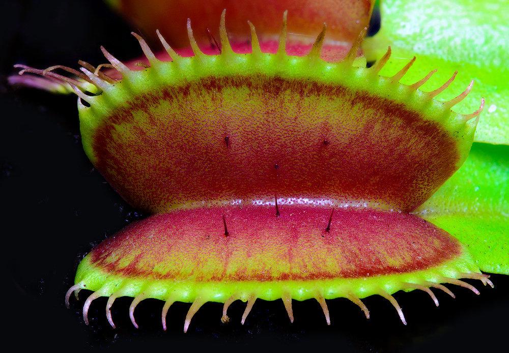 Купить растение которое ест мух