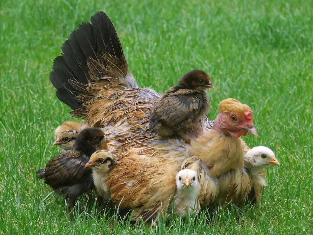 Курица с цыпленком красивые картинки