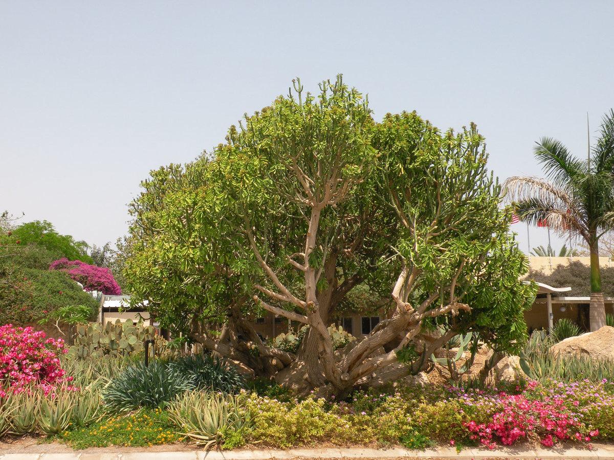 для растения израиля в картинках все подробности рассказывать