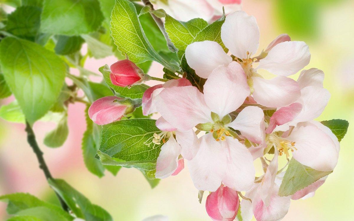 Рабочий, яблоневый цвет картинки