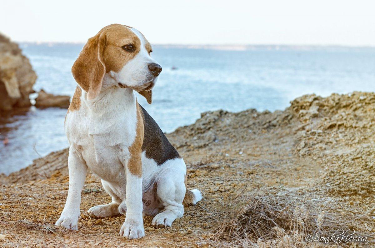 Картинки бигля щенок