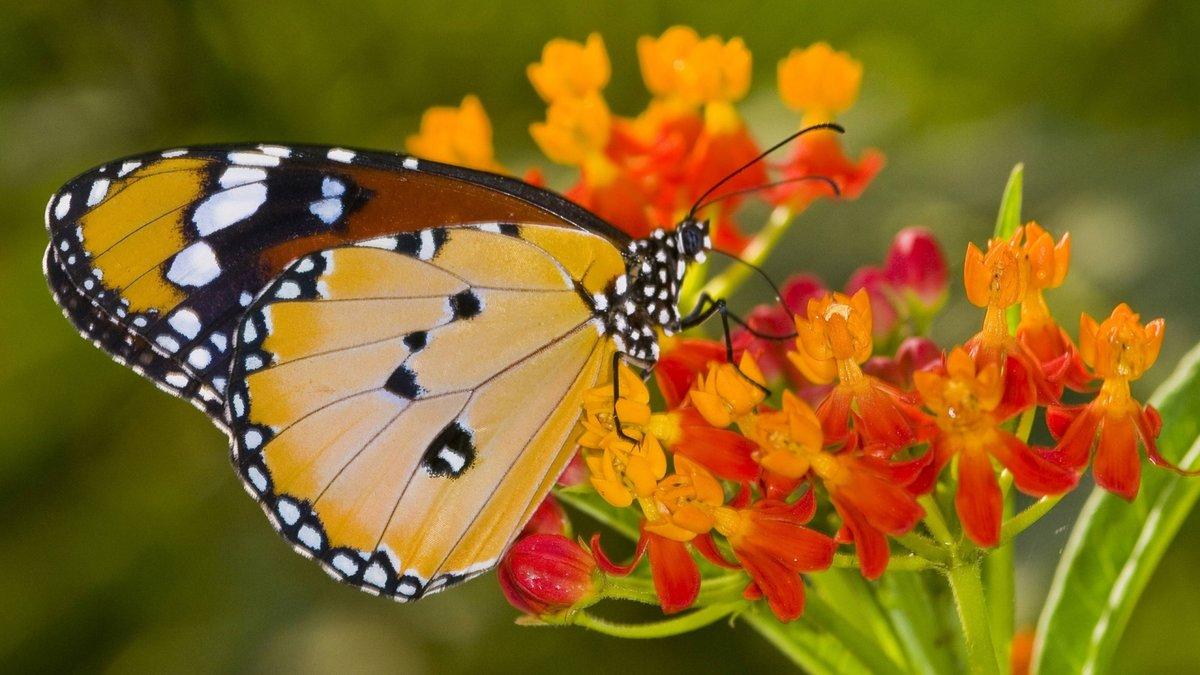 Seekor kupu kupu menghisap nektar
