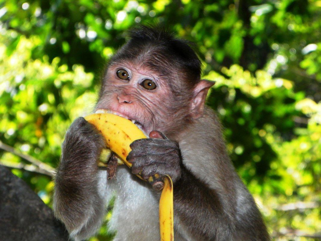 достижения обезьяна с бананами в картинках ласковая
