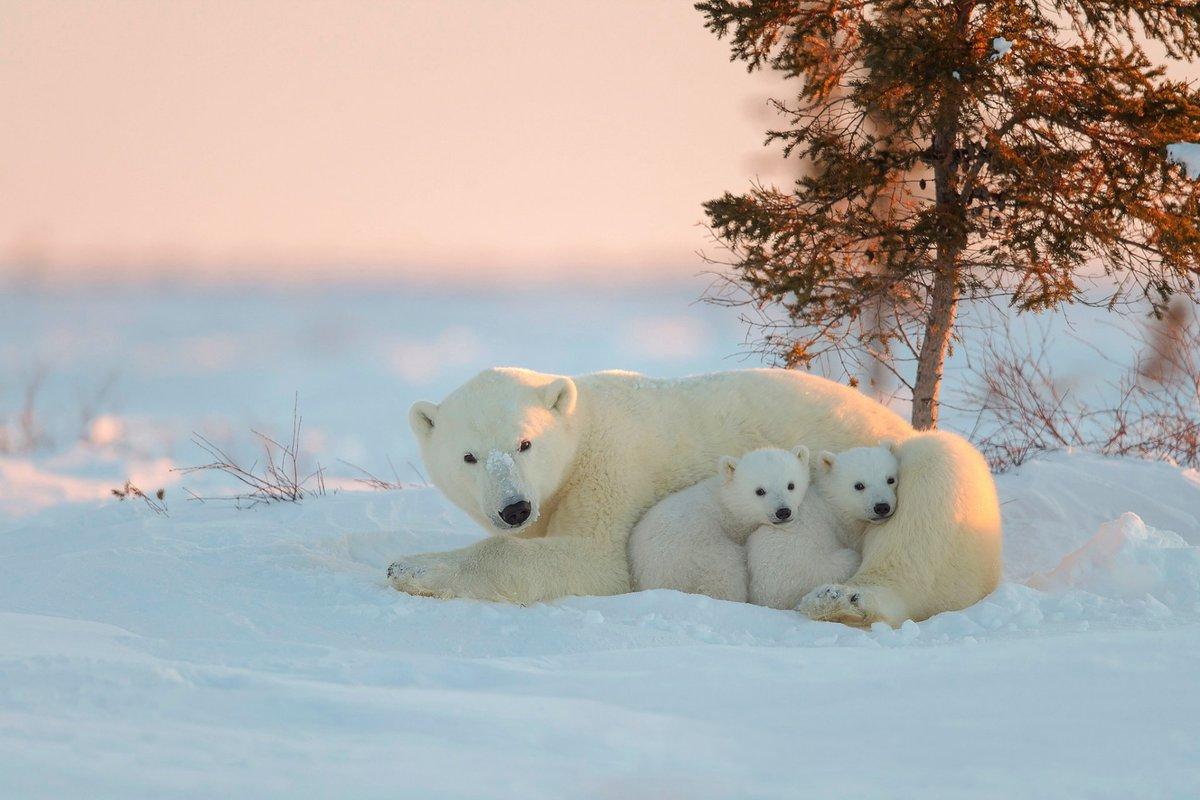 Картинка с белым медведем и медвежонком, дорожных знаках картинки
