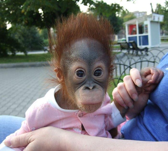 Очень смешные картинки с обезьянами, старые открытки