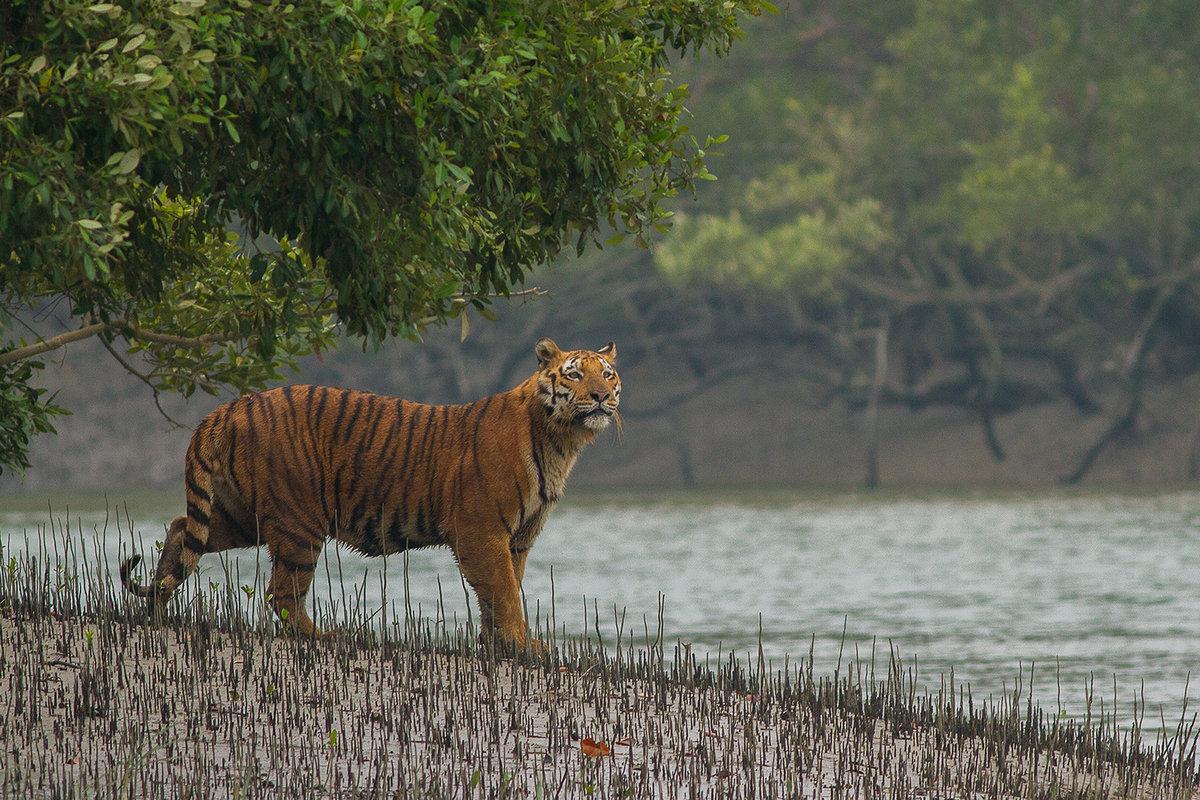 Национальный парк Сундарбан — тигровый и биосферный заповедник в Индии