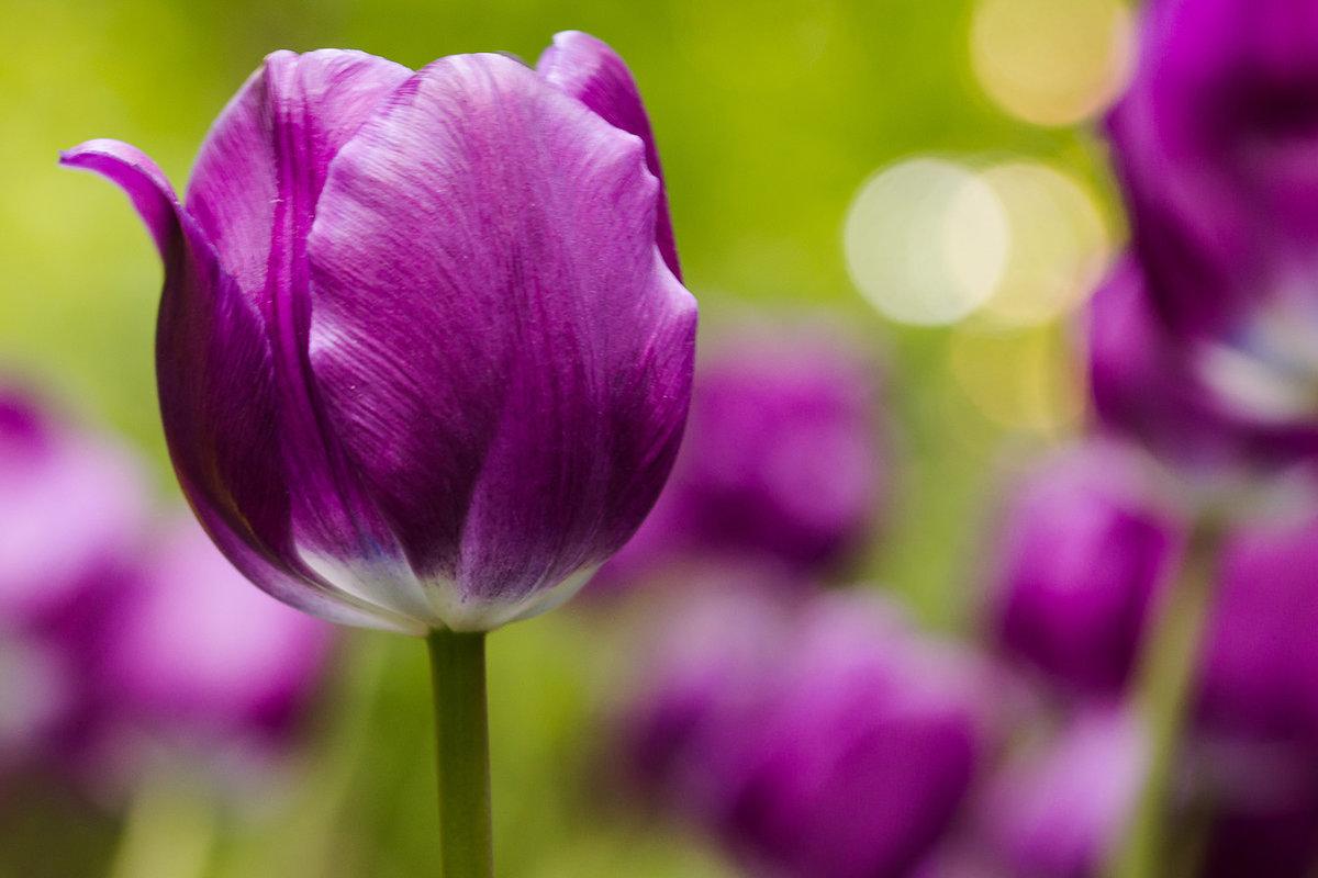 так фото тюльпанов на фиолетовом фоне ведь совсем
