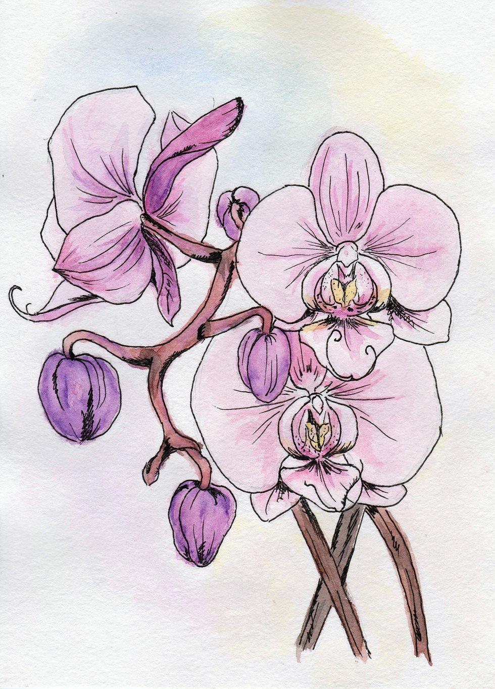 Орхидеи картинки нарисованные