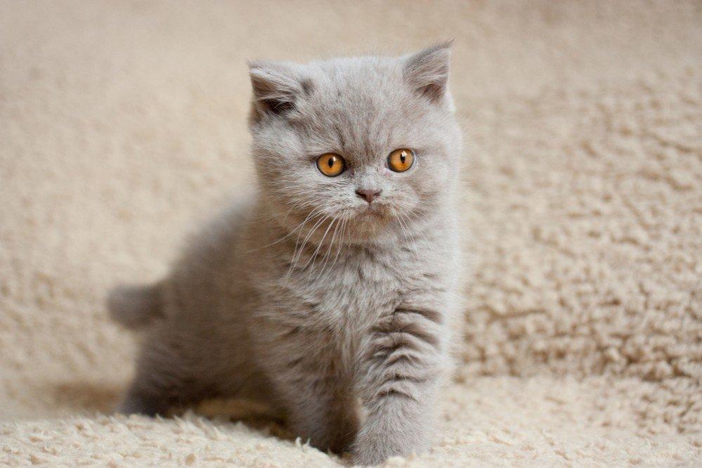 этой спальне британская кошка фото котенок номеров открывается