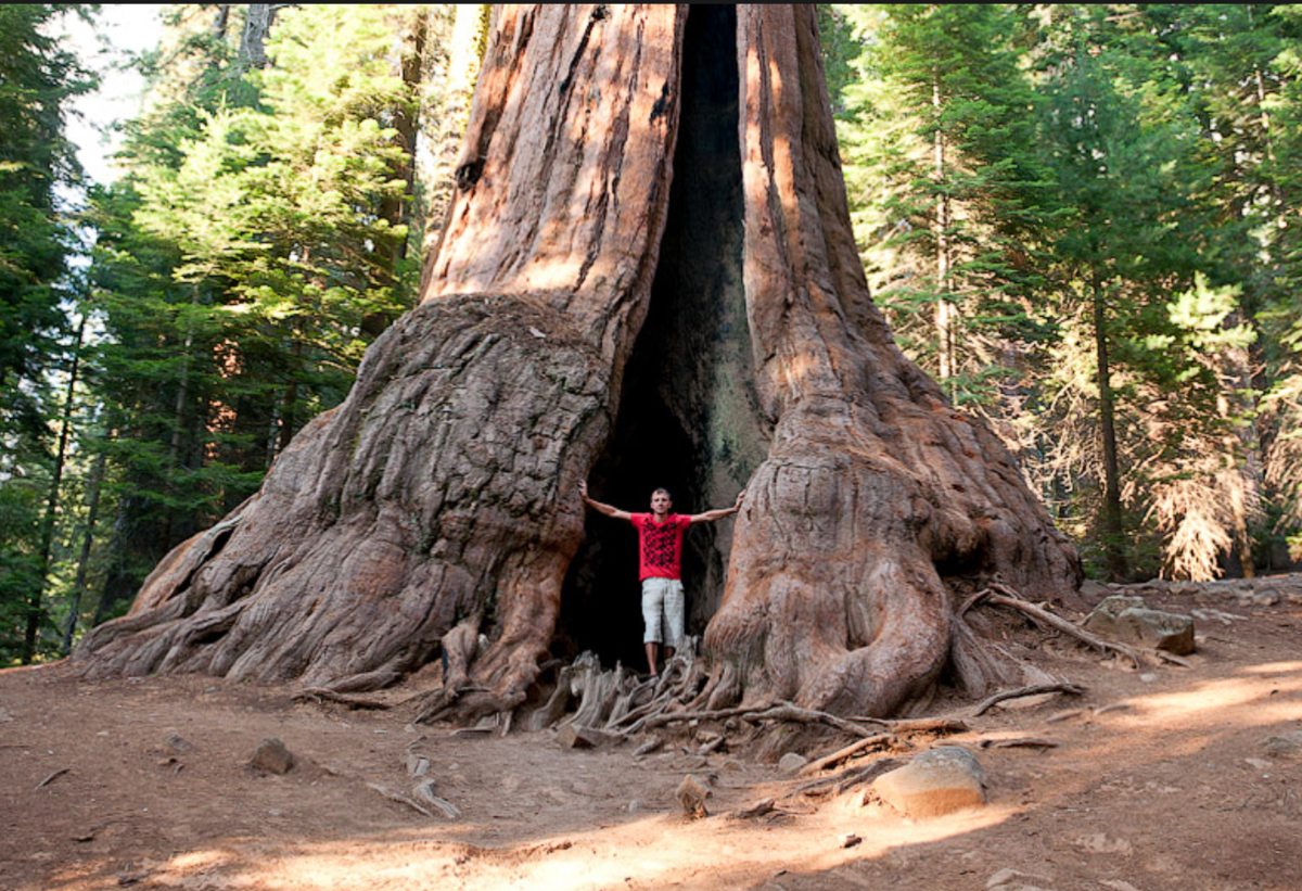 гигантские деревья фото создать воплотить