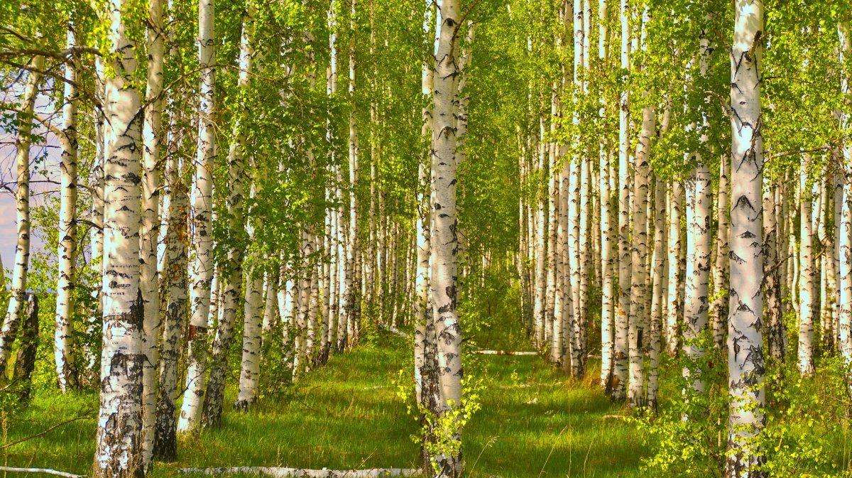 Природа россии березы картинки