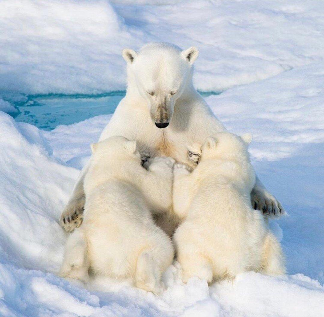 Белая медведица кормит ÑÐ²Ð¾Ð¸Ñ Ð¼Ð°Ð»Ñ‹ÑˆÐµÐ¹. #впечатляет