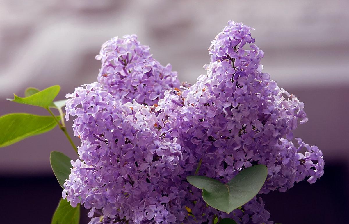 Картинки цветы сирень красивые, днем рождения мама