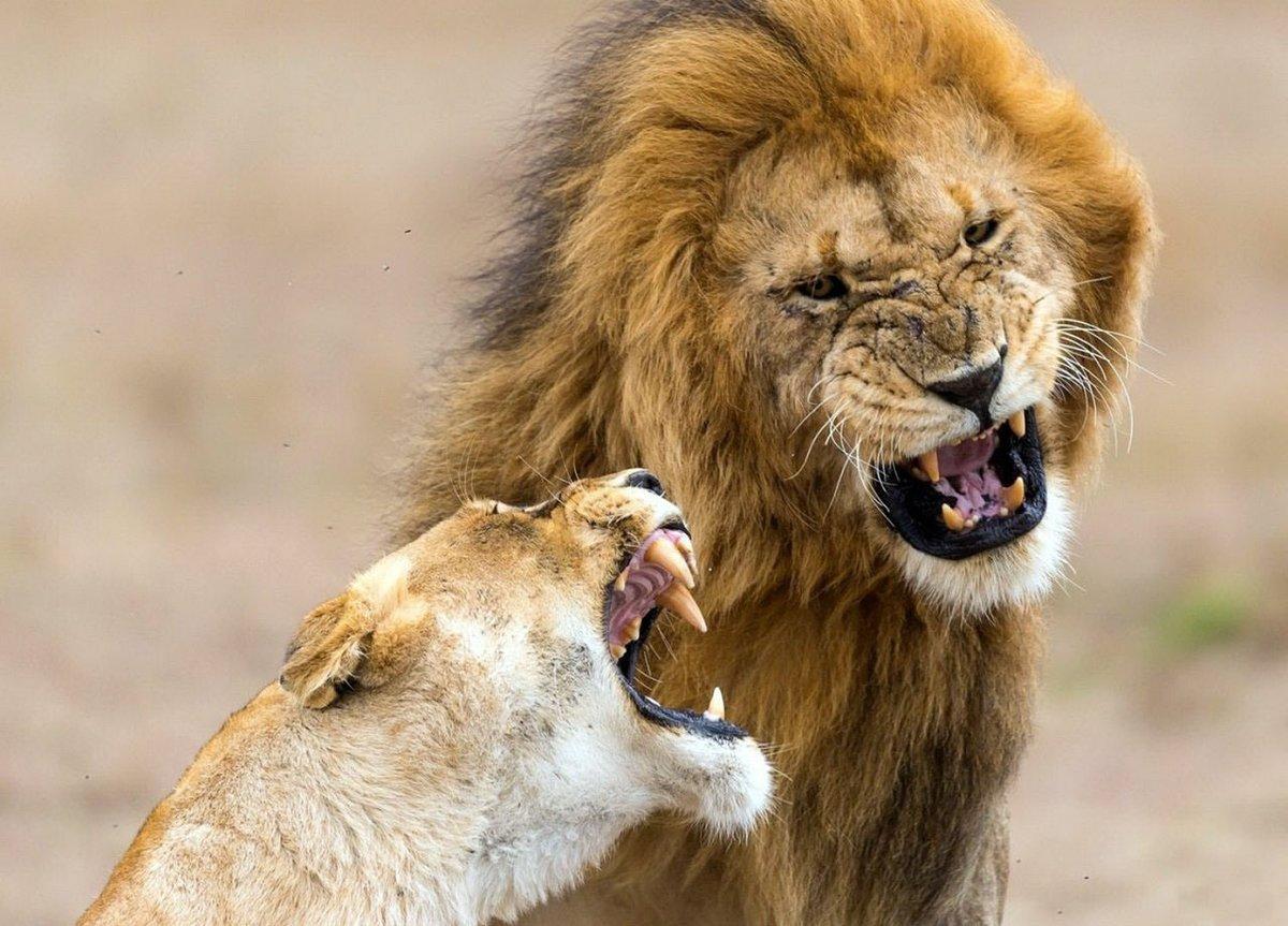 Картинки про львенка смешные, картинки