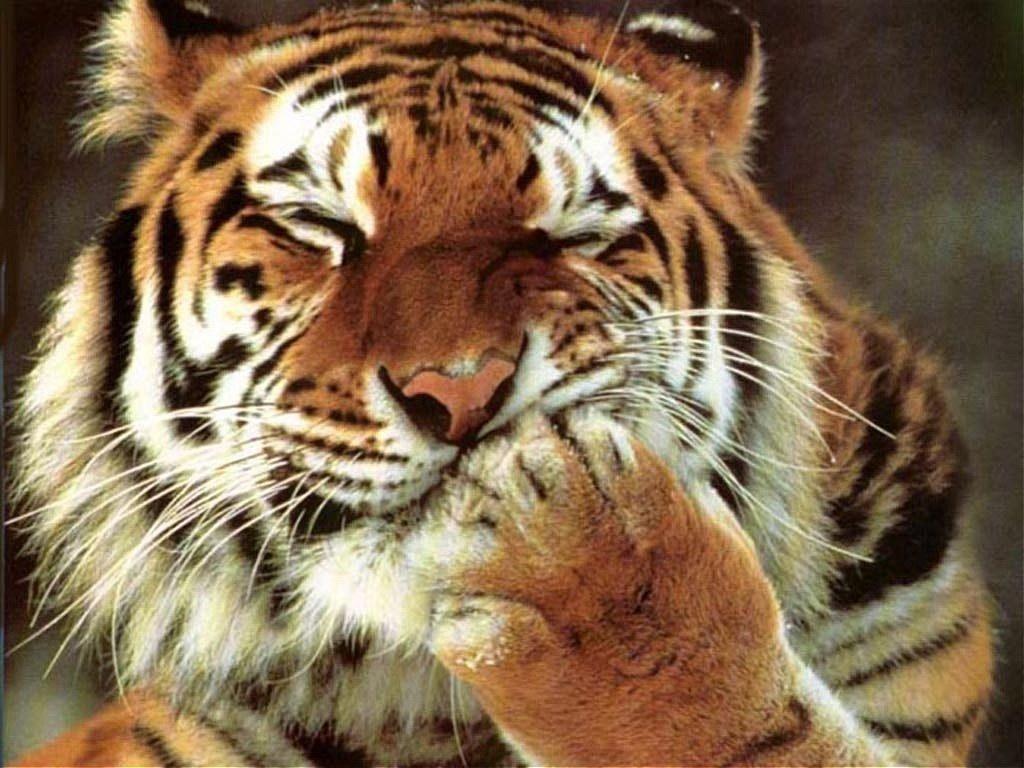 Сытый тигр