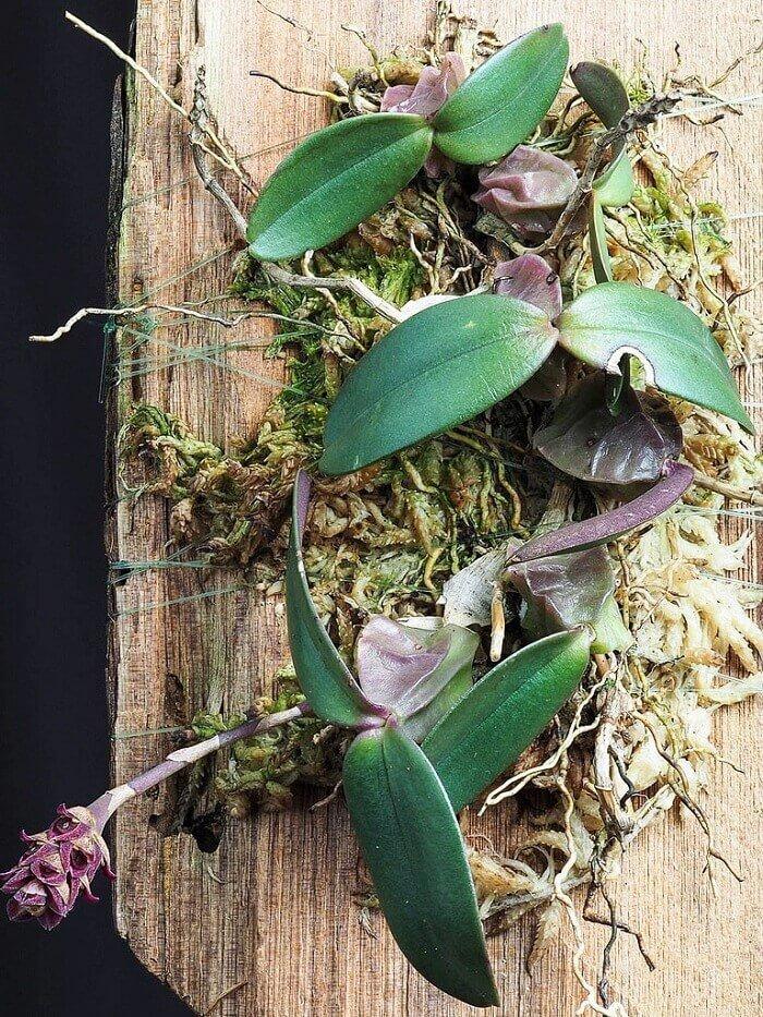 Размножение орхидей картинки