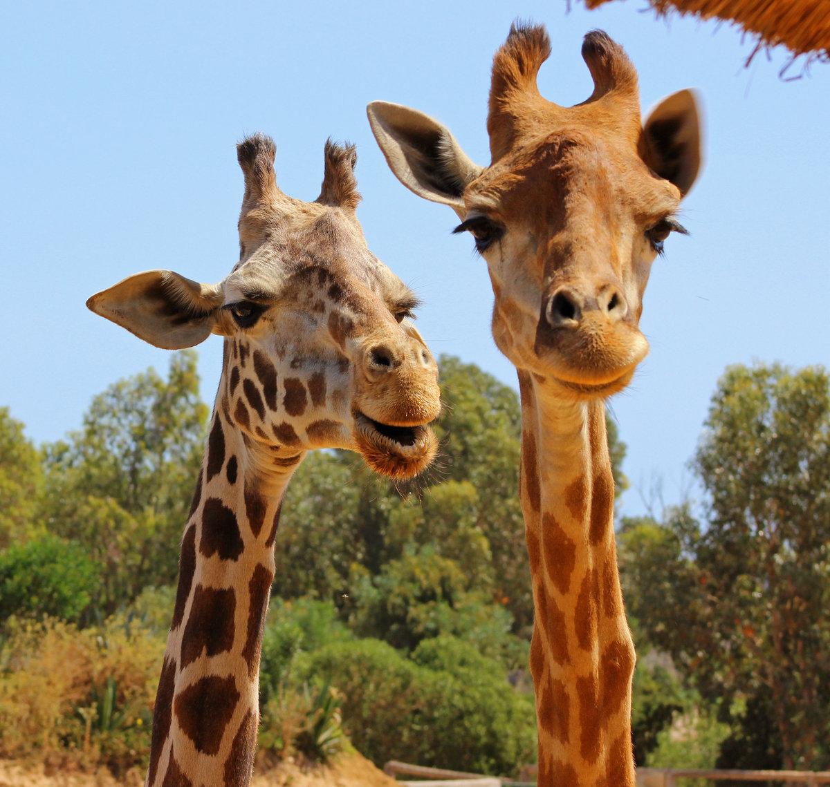 Жираф фото картинки