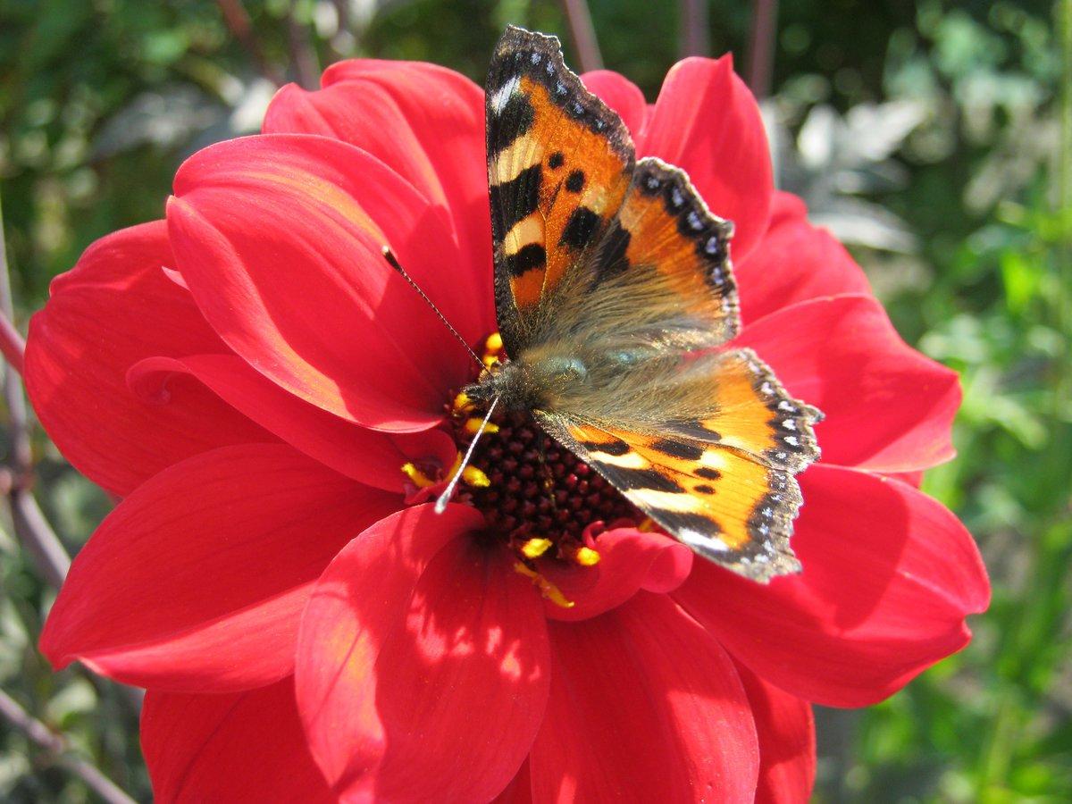 Картинки мотылек на цветке