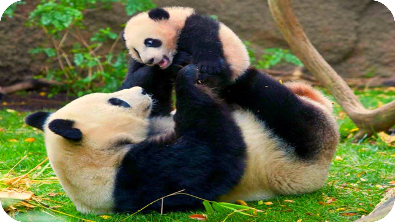 картинки панды смешные