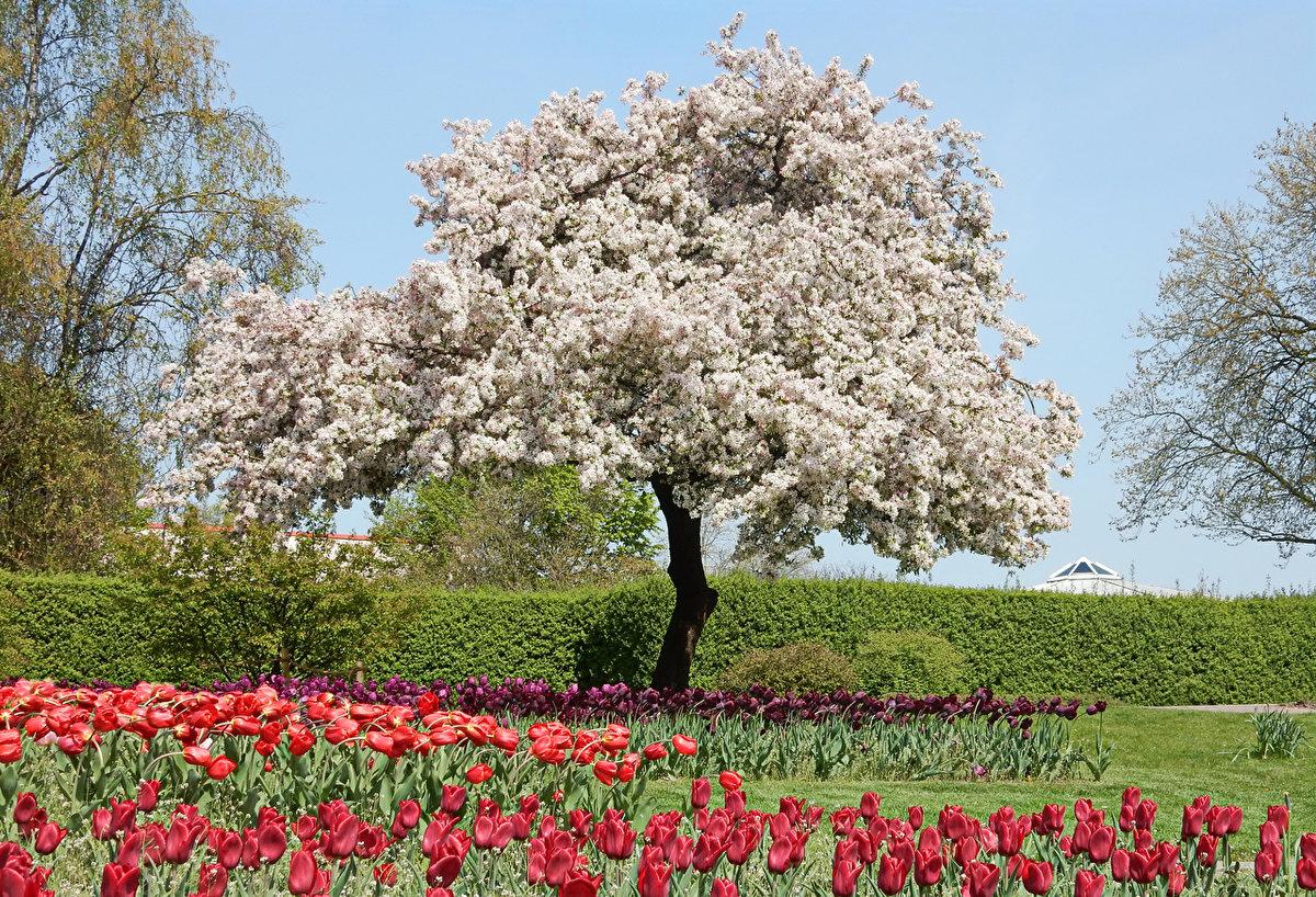 Картинки цветущих деревьев яблони