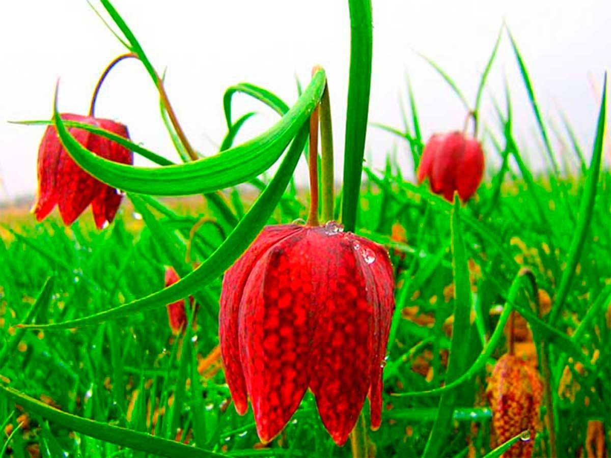 Картинка дикого тюльпана