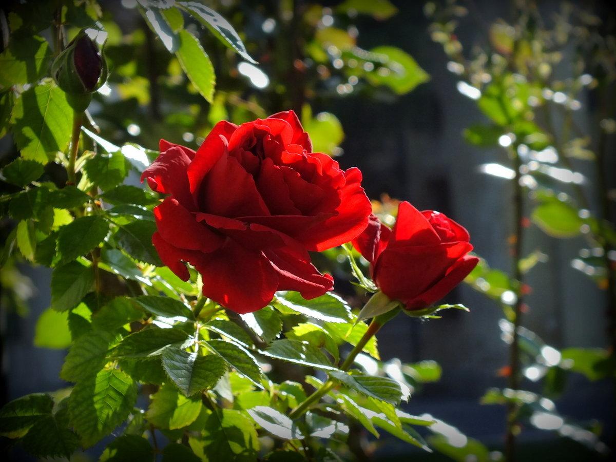 солнечной атмосфере розы в лучах солнца картинки приют