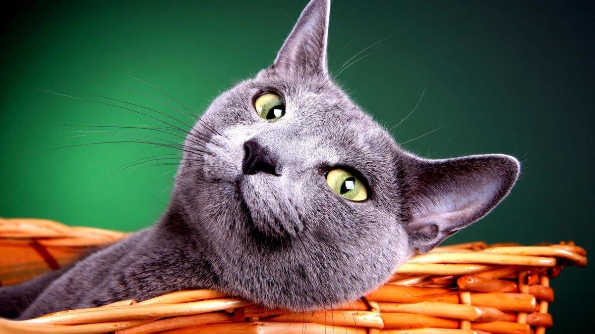 поляк картинки на рабочий стол животные кошки смешные тайный эликсир молодости
