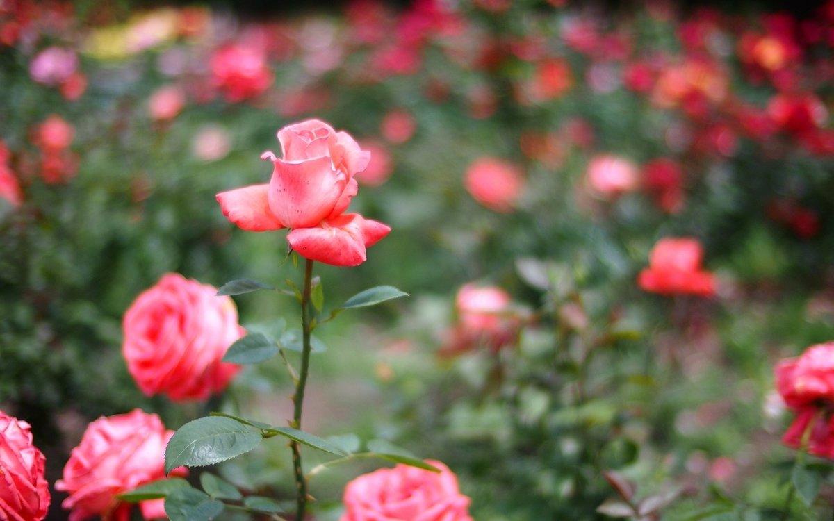 Природа картинки с розами