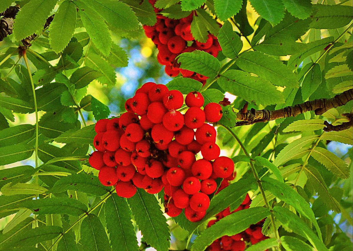 Рябиновое дерево фото