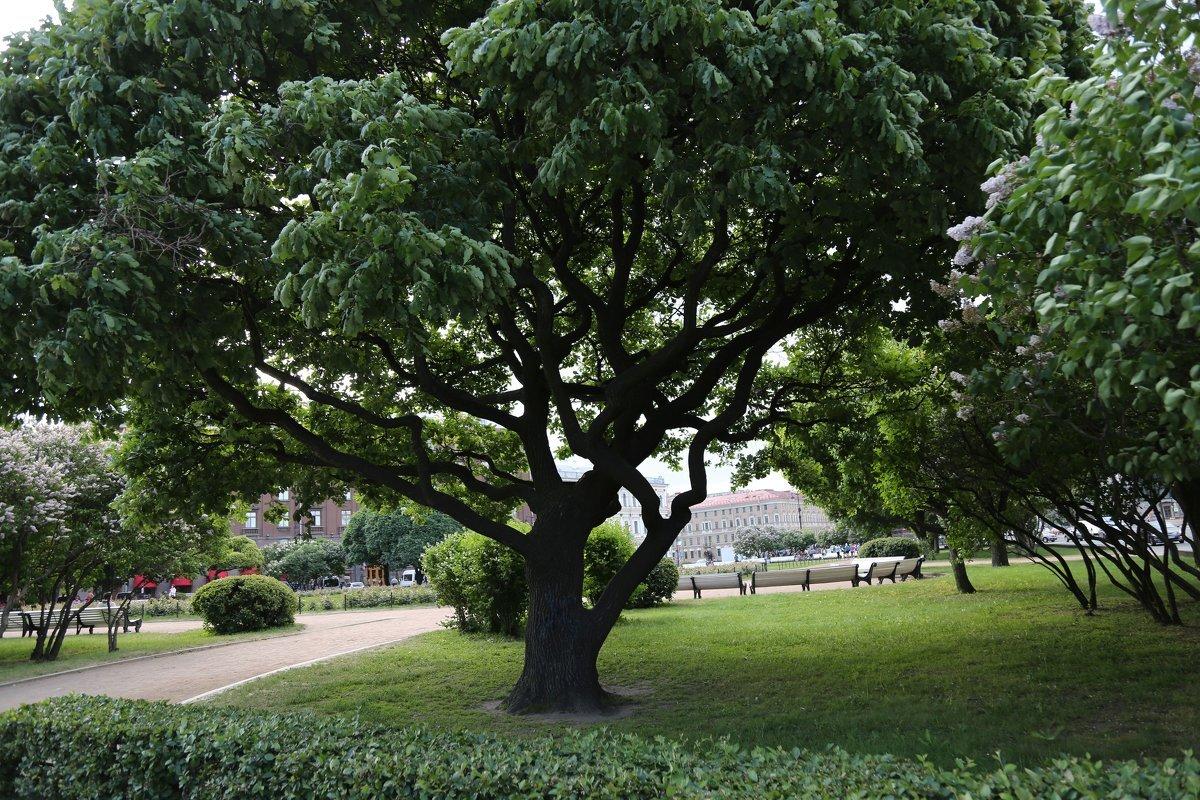 Деревья санкт петербурга фото с названиями