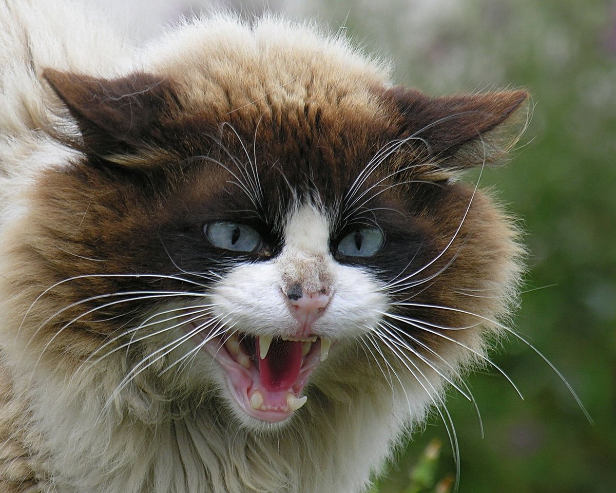 Смешная картинка злой кот, украсить открытку